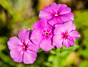 Gordon H Rohrbaugh Jr - Macro Wild Pink Phlox