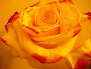 Histogram Prints - Macro Yellow Rose with Red Print by Marsha Heiken