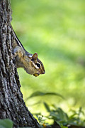 Hiding Framed Prints - Mad Dash Chipmunk Framed Print by Christina Rollo