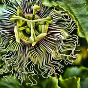 Passiflora Prints - Mad Passion Print by Peggy J Hughes