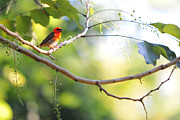 Bird On Tree Prints - Madagascar Fody aka Red Cardinal Fody Print by Jenny Rainbow