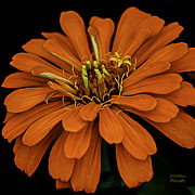 Julie Palencia Photography Posters - Magellan Orange Zinnia Squared Poster by Julie Palencia