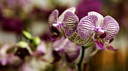 Lynn Palmer - Magenta and Cream Orchids