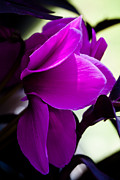 Spring Florals Photos - Magenta Blooms by David Patterson