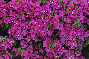 Bougainvilleas Prints - Magenta Bougainvilleas Print by Mark Harrington