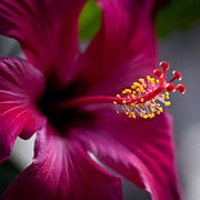 Spring Florals Photos - Magenta Flower by David Patterson