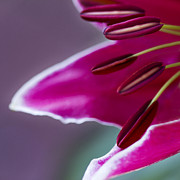 Barbara Smith Metal Prints - Magenta Lily Metal Print by Barbara Smith