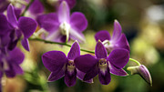 Lynn Palmer - Magenta Orchids