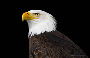 Barbara Mcmahon Prints - Magestic Bald Eagle Print by Barbara McMahon
