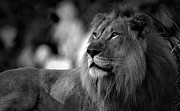 E Black Photo Prints - Magestic King Print by Adrian Tavano
