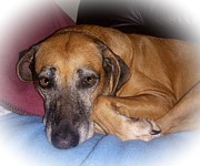 Brown Dogs Photos - Maggie Rhodesian Ridgeback 1  by Tessa Fairey