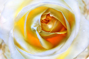 Macro Photography Prints - Magic Ivory Rose by Julia Fine Art Print by Julia Apostolova