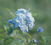 Blue Flowers Photos - Magical Blues by Kim Hojnacki