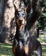 Doberman Framed Prints - Magnificence Framed Print by Rita Kay Adams