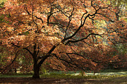 Backlit Photo Prints - Magnificent Autumn Print by Anne Gilbert