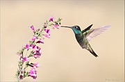 Daniel Behm Metal Prints - Magnificent Hummingbird Metal Print by Daniel Behm