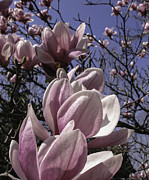 Tulip Tree Digital Art Prints - Magnificent Magnolia Print by Arlene Carmel