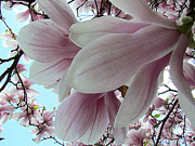 Florabunda Framed Prints - Magnificent Magnolia Framed Print by Lori Lafargue