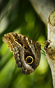 Marilyn Hunt - Magnificent Owl Butterfly