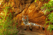 Andy Lawless - Magnificent Tiger resting