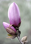 Angela Davies - Magnolia A Gift Of Spring
