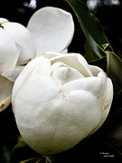 Teresa Dixon Metal Prints - Magnolia Beginnings Metal Print by Teresa Dixon