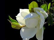 Magnolia Blossom Print by Ginny Schmidt
