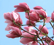 Tulip Tree Prints - Magnolia Breeze Print by Angie Vogel