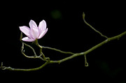 Dark Background Prints - Magnolia Campbellii Darjeeling Flower Print by Tim Gainey