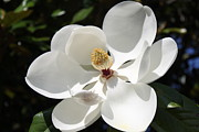 Carolyn Ricks Metal Prints - Magnolia Metal Print by Carolyn Ricks