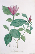 Bud Painting Framed Prints - Magnolia discolor engraved by Legrand Framed Print by Henri Joseph Redoute