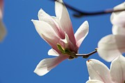 Concord Massachusetts Metal Prints - Magnolia Flower Metal Print by Allan Morrison