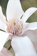 White Magnolias Posters - Magnolia Flower Blossom Poster by Jennie Marie Schell