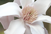 Blooming Trees Prints - Magnolia Flower Blossom Macro Print by Jennie Marie Schell