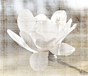 Back-light Prints - Magnolia flower Print by Elena Elisseeva