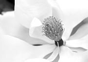Sabrina L Ryan - Magnolia Flower Macro