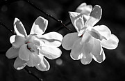 Backlit Metal Prints - Magnolia flowers Metal Print by Elena Elisseeva