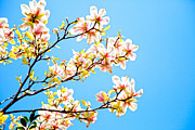 Graham Photo Originals - Magnolia by Graham Foulkes
