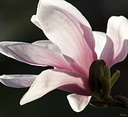 Michael D. Friedman Prints - Magnolia II Print by Michael Friedman