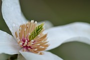 Hill and Dale Photography - Magnolia Loebner Stamen