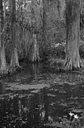Southern Prints - Magnolia Plantation Gardens in Black and White Print by Suzanne Gaff