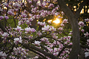 Tracy Munson Metal Prints - Magnolia Sunrise Metal Print by Tracy Munson