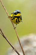 Magnolia Warbler Photos - Magnolia Warbler 0881 by Paul Reeves