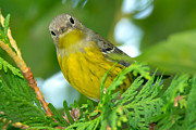 Magnolia Warbler Photos - Magnolia Warbler 5952 by Paul Reeves