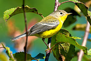 Magnolia Warbler Photos - Magnolia Warbler 6878 by Paul Reeves