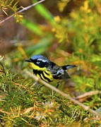 Magnolia Warbler Prints - Magnolia Warbler in the Pines Print by JLambe Photography