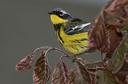 Magnolia Warbler Photos - Magnolia Warbler by JLambe Photography