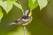 Warblers Framed Prints - Magnolia warbler Framed Print by Mircea Costina Photography