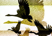 Geese Posters - Magpie Geese in Flight Poster by Holly Kempe