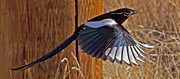 Pica Posters - Magpie In Flight    #0251 Poster by J L Woody Wooden
